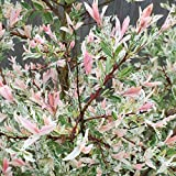 Salix Integra 'Hakuro Nishiki' - Japanse sierwilg 40-50 cm pot