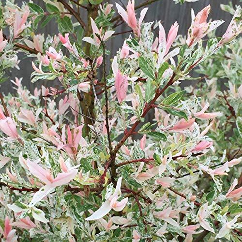 Salix Integra 'Hakuro Nishiki'- Saule du Japon;Saule crevette 40-50 cm en conteneur