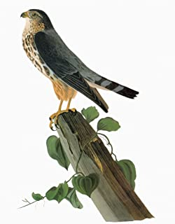 Audubon Merlin Nmerlin Or Pigeon Hawk (Falco Columbarius) Engraving After John James Audubon For His Birds Of America 1827...