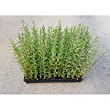 Pack 50Unds Cipres planta Sempervirens 30-50cm (Para seto)