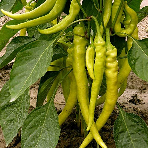 Samen für ca. 20 Pflanzen Lombardo Peperoni – milde Peperoni, ertragreich