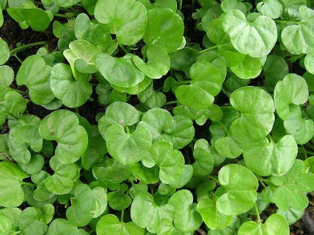 Dichondra Repens latest Grass Seeds 1 - Pound 2021