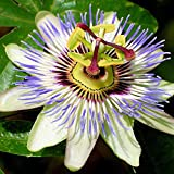 Passiflora 'Caerulea' Semi-Evergreen Hardy Compact Garden Shrub | 9cm Pot