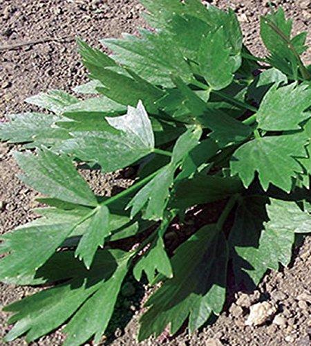 Liebstock Maggikraut mehrjährig Höhe bis 150 cm Samen