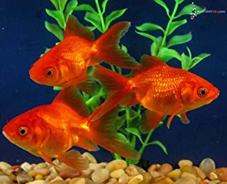Best fantail goldfish for sale Reviews