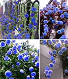 Esotico Fiore Semi cielo blu giardino fiorito rosa rampicante Pianta ornamentale giardino bonsai in vaso Planta facile da coltivare 200pcs / bag