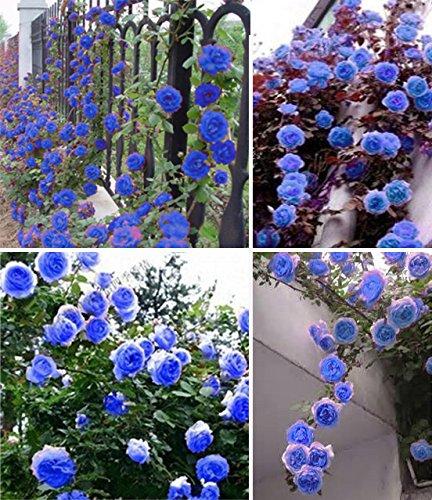 Exotique escalade bleu jardin fleur ciel Graines rose plante bonsaï jardin d'ornement en pot Planta Facile à cultiver 200pcs / sac