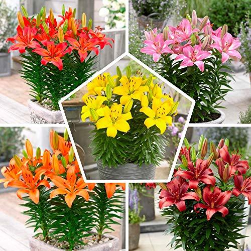 15x Matrix Garten Lilien Zwiebeln Kollektion, Mix aus 5 Sorten, 3 von jeder Farbe, Mehrjährig und Winterhart Blumenzwiebeln Mix (kein Samen), Mischung aus Holland für Garten und Topf