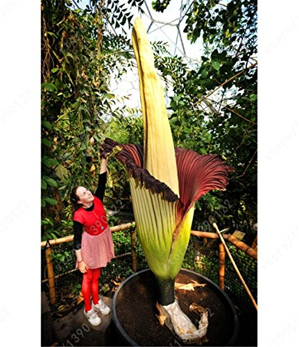 5 Seeds Corpse Flower The Titan Arum Is Buy Online In Bahamas At Desertcart