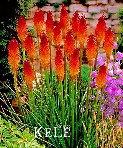 Big Promotion. 10 pcs/lot Kniphofia Semences Red Hot Pokers-plants So Pretty Long Blomming Fiery-hued Fleurs lumière, Xbgr0