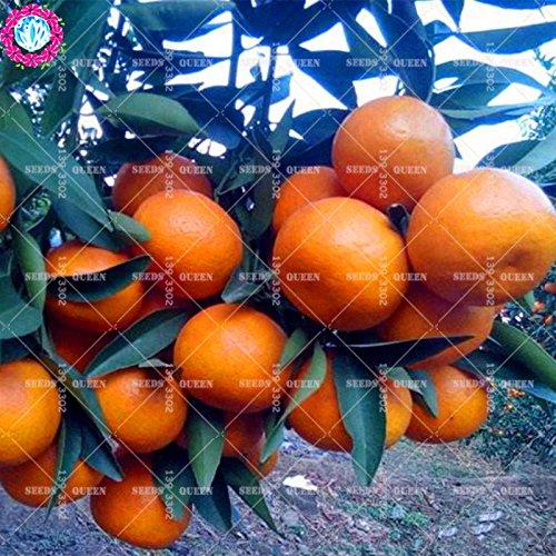 11,11 Big Promotion! 20pcs/lot géant graines orange tangerine orange graines de fruits d'arbres en pot dans le jardin et la maison plante herbacée organique aweet 1