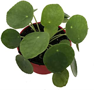 UFO Live Plant Chinese Money Pilea Peperomioides 4