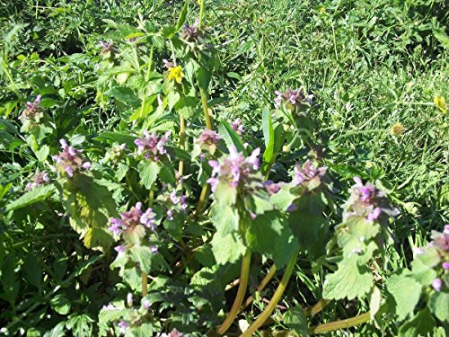 Just Seed Wild Flower Rot deadnettle Purpurrote Taubnessel 100 Samen
