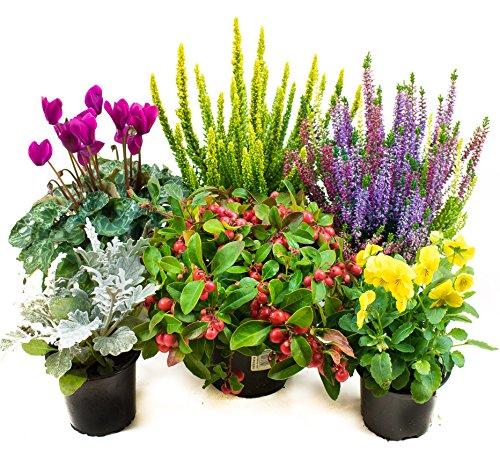 Herbst Blumenset Nr.2 Calluna vulgaris Trios Milka, Skyline, Alpenveilchen, Viola Stiefmütterchen, Scheinbeere & Silberblatt