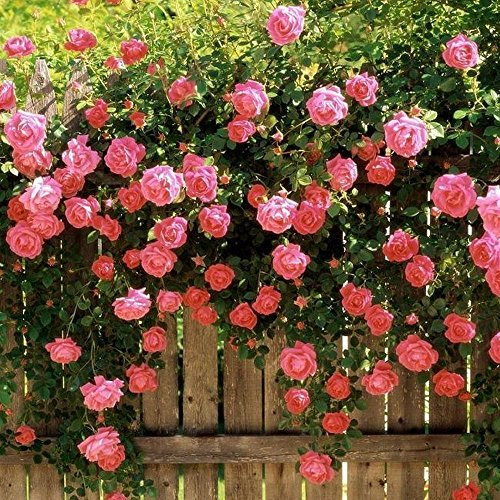 Rosa Kletterrose Laube Spalier Gartensamen
