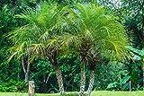 zumari 55 piezas de palmeras datileras (Phoenix roebelenii) semillas de árboles