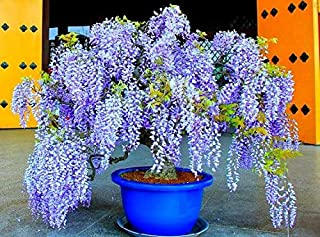 10 Seeds Bolusanthus, South African Wisteria Tree, Warm Zones 9 to 10, Fragrant Blooming Tree, Drought Tolerant, Street Tree, Great Bonsai