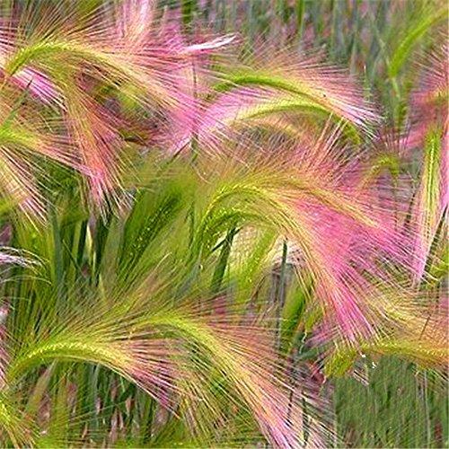 Promotion * 100 PC-Mähnengerste Schöne Ziergräser Samen (Hordeum jubatum), seltene Garten-Blumensamen