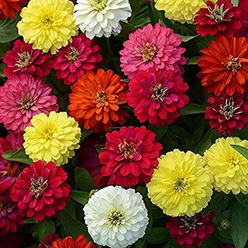 Kraft Seeds Zinnia Mixed Flower Desi Seeds Summer Variety Special (Multicolour)