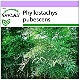SAFLAX - Bambú moso - 20 semillas - Phyllostachys pubescens