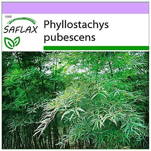 SAFLAX - Bambú moso - 20 semillas - Phyllostachys...