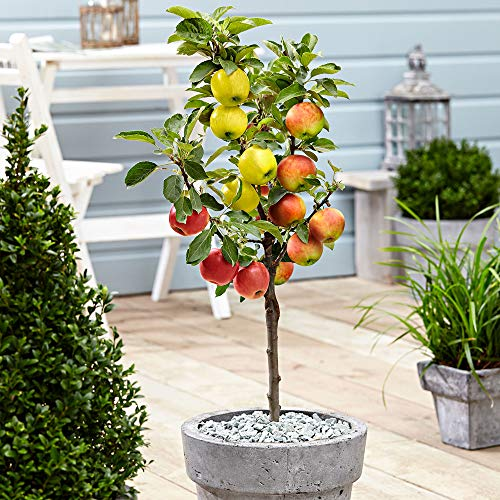 Malus domestica | Apfelbaum 3 Sorten | Obst Pflanzen | Obstbaum Winterhart | Höhe 70-80 cm | Apfelbaum im Topf Ø 11 cm