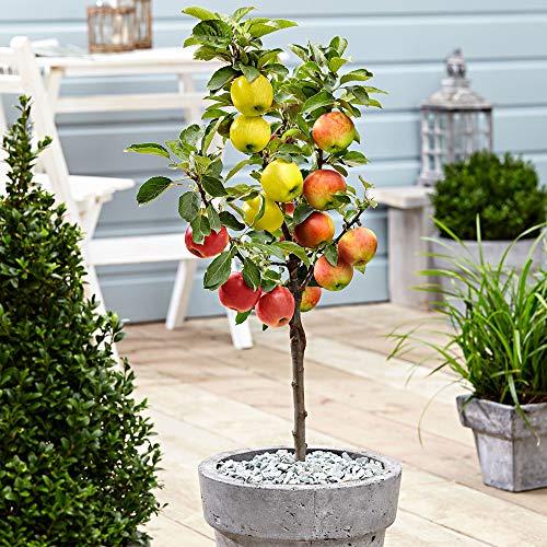 Malus domestica | Apfelbaum 3 Sorten |...