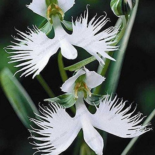 SwansGreen free ship Radiata Seeds,Egret Flower Seeds Habenaria World's Rare Plants Series -40 particles
