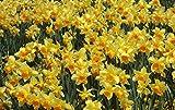 Graines Belle Fleur de narcisse Balcon Plantes jonquille Seeds Balcon Potted Narcissus Tazetta Seeds 100 pièces pour jardin
