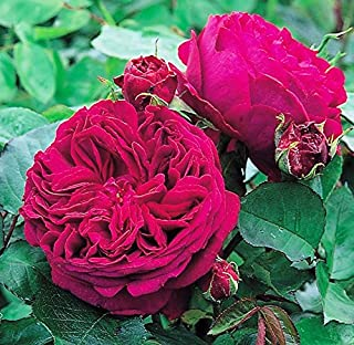 Modern Plants Live English Red Rose Flower Plant With Pot