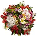 GlobalRose Alstroemeria Flowers- 240 Assorted Color Blooms- 60 Peruvian Lilies from Globalrose
