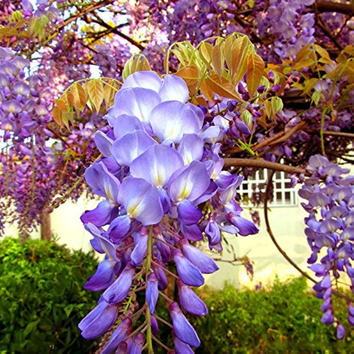韓国語ひねくれた検体紫色の藤の種 育てること容易な庭の庭の植栽のための10個の香りのよい花の種