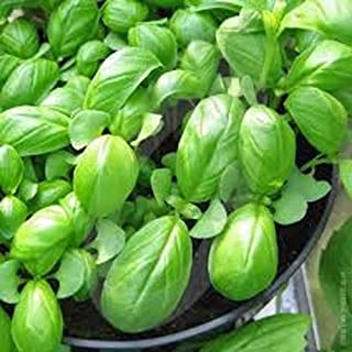 Basil, Sweet Genovese, Non-GMO,100+Seeds per Package, Great Herb for Italian Cuisine
