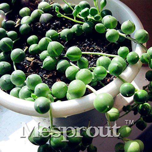 100pcs / sac perle ronde Chlorophytum Graines Perles Bonsai Absorber Formaldéhyde Rillettes Plantes d'intérieur Plantes de purification de l'air