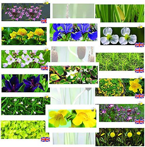 3 x Marginal Plants - Including a 10 Litre pot and compost - Live Water Plant Aquatic Pond Lake Marginal (Caltha palustris plena (Double marsh marigold))
