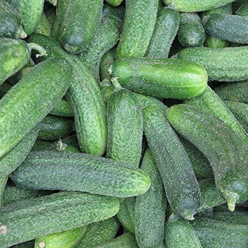 Samen für ca. 30 Pflanzen Vorgebirgstraube Gurke - zuverlässige Sorte, Einlegegurke
