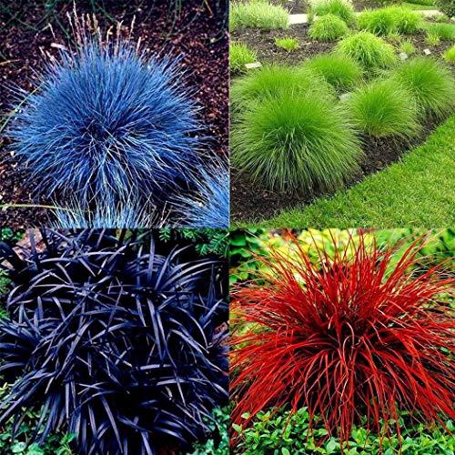 begorey Garten - Schwingel Grassamen Mischung Raritäten Ziergras Mehrfarbig Crabgrass (Miscanthus sinensis) Mehrjährig Winterhart