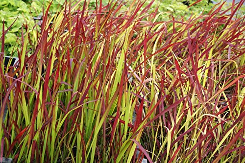 Garten-Blutgras Imperata cyclindrica Red Baron Containerware