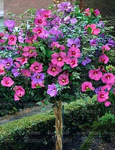 GETSO 100pcs Seltene Hibiscus Bonsai Hibiskus-Blume Bonsai-Baum ausdauernde Topfpflanze Blüte für Hausgarten Blumen Pflanzen: 4