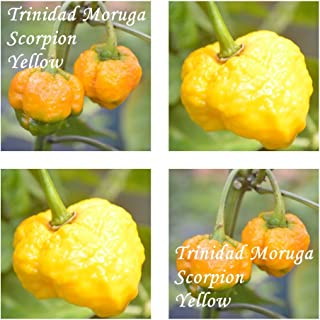 Trinidad Moruga Scorpion yellow -20 Samen / gelbe Variante - eines der schärfstes Chili der Welt !