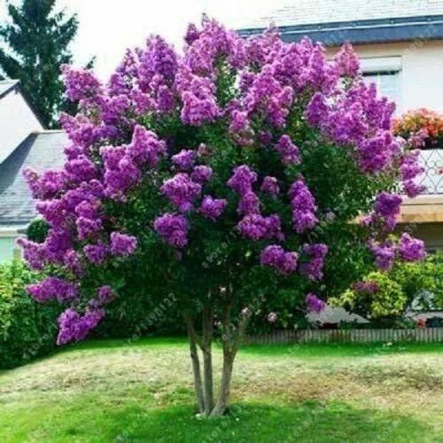 40+ JAPONESAS DEL ÁRBOL DE SEMILLAS púrpura de la lila/resistente perenne FRAGANTE ENCANTADOR POTENTE