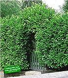 BALDUR-Garten Immergrün Kirschlorbeer-Hecke, 1 Pflanze Prunus laurocerasus 'Rotundifolia' winterhart