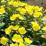 500 Seeds - sera primula Yellow
