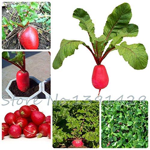 Grosses soldes! 100 pcs/sac graines de radis rouges, les graines de fruits et légumes doux bonsaïs pour le jardin à la maison planting- Arcis Nouveau