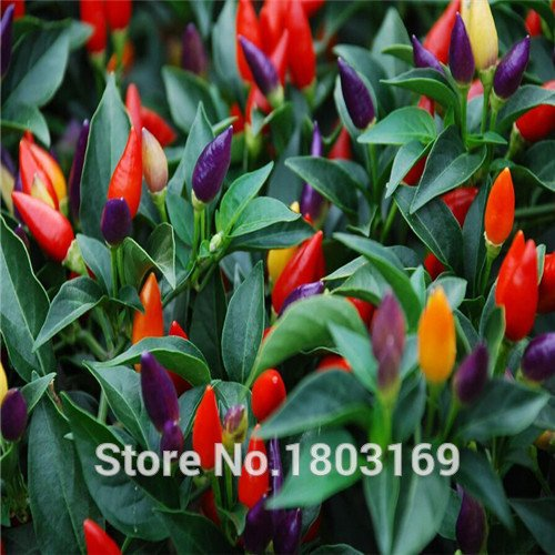 Graines de légumes Habanero Orange Piment Graines de plantes – 100 pcs – Très Hot.