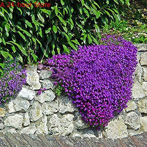 GETSO Außen seedsplants 220pcs Aubrieta deltoidea Seeding Romantische Lila Senf Garten-Blumen Seltene Bonsaipflanzen VC: als Show