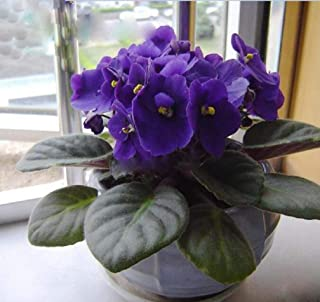 50pcs Violet Seeds African Violet Plants Seeds Indoor Balcony Flowers Plant for Home Garden Easy to Plant Flower Plant Flower Plants Seeds