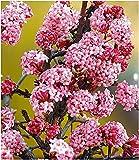 BALDUR Garten Duft-Schneeball Dawn,1 Pflanze, Viburnum...