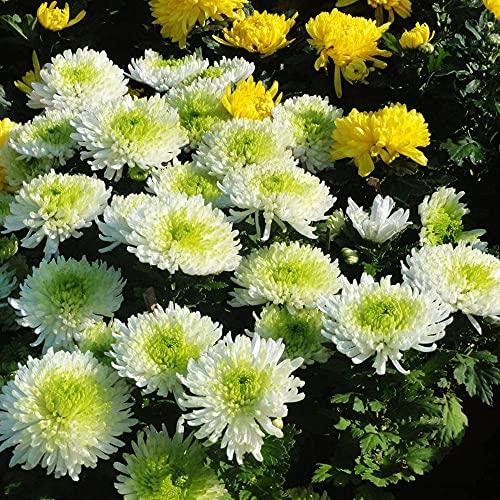 50pcs Chrysantheme Samen Natürlich Schöne Mehrjährige Blumen Weit Pflanzung Duftenden Landschaft Dekoration Zieht Schmetterlinge Und Bienen