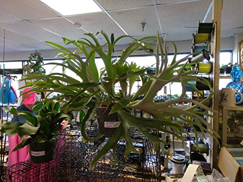 """PLATYCERIUM - STAGHORN FERN - FRENCH VEITCHI 3"""" LIVE 1 POTTED PLANT"""
